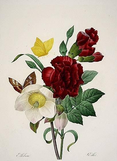 Carnation and Christmas Rose - Pierre Redoute