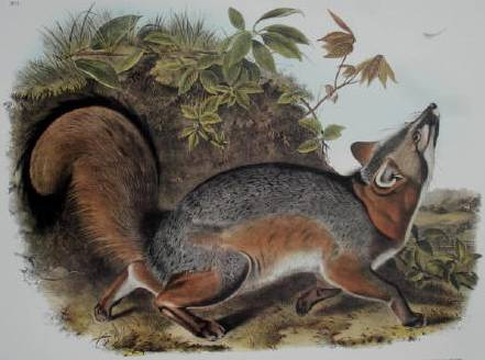 Grey Fox - John James Audubon