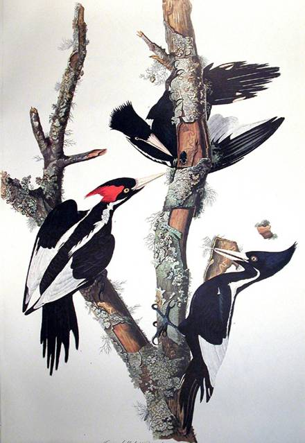 Ivory billed Woodpecker - John James Audubon