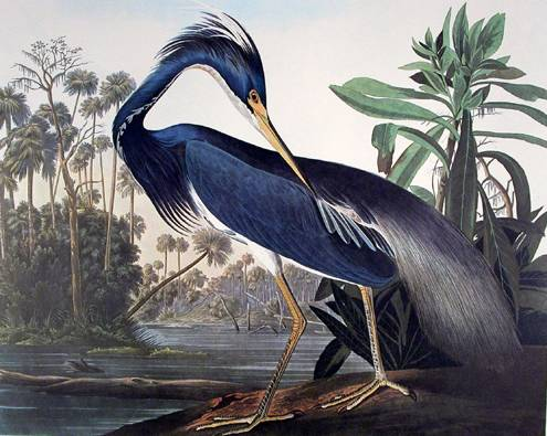 Louisiana Heron - John James Audubon