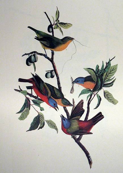 Painted Finch - John James Audubon