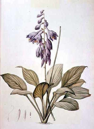 Plantain Lily - Pierre Redoute