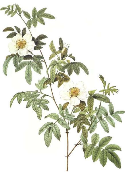 Rosa Clinophylla - Pierre Redoute