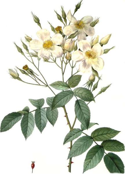 Rosa Moschata - Pierre Redoute