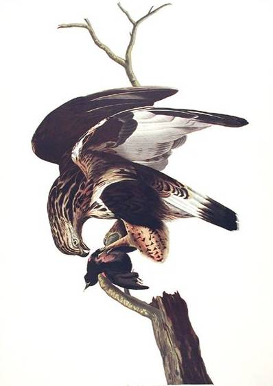 Rough-legged Falcon - John James Audubon