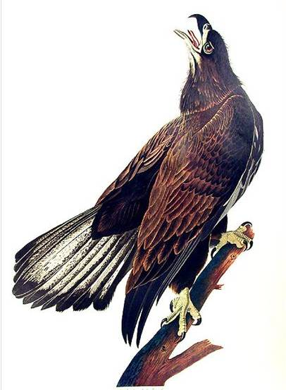 White Headed Eagle - John James Audubon
