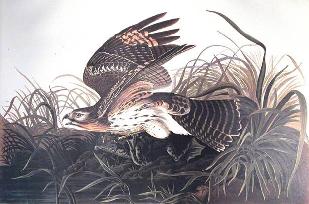 Winter Hawk - John James Audubon